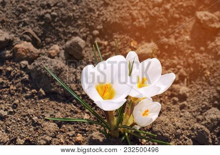 White Crocuses, Concept Of Spring, Beautiful Flower, Natural Wallpaper, Close-up