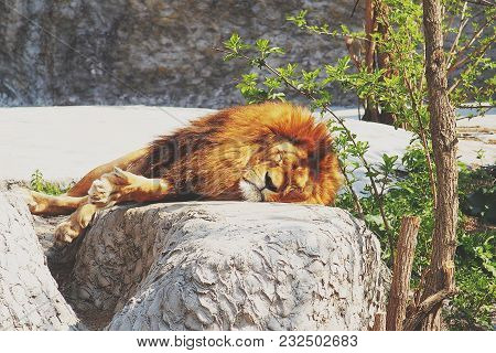 A Male Lion Resting On A Large Stone In The Rays Of A Warm Sun
