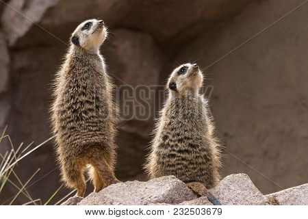 Two Meerkats Look Upwards (small Carnivoran Belonging To The Mongoose Family)