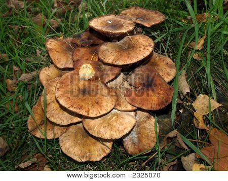 Bunch Of Brown Fungi