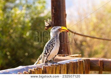Southern Yellow-billed Hornbill Close Up From Pilanesberg National Park, South Africa. Safari And Wi