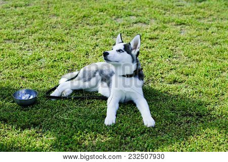 Tired Husky Resting On The Grass, Beautiful Pet Dog Theme
