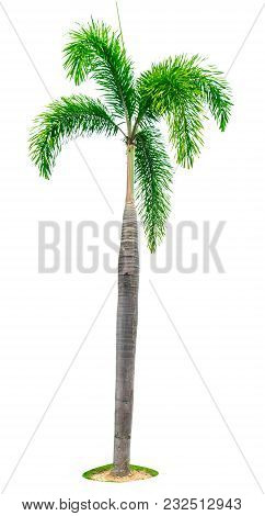 Manila Palm, Christmas Palm Tree ( Veitchia Merrillii ) Isolated On White Background With Copy Space