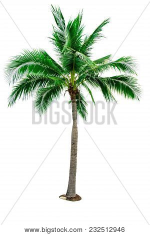 Coconut Tree Isolated On White Background With Copy Space. Used For Advertising Decorative Architect