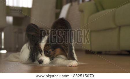 Dog Papillon Lies On The Floor In The Living Room
