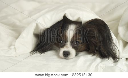 Dog Papillon Crawls Out From Under The Blankets And Jumps Off The Bed