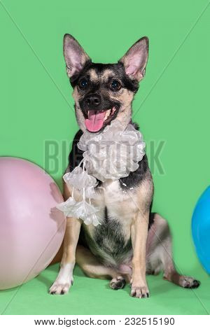 Funny Dog Mongrel With A Bow On His Neck Among Balloons On A Green Background