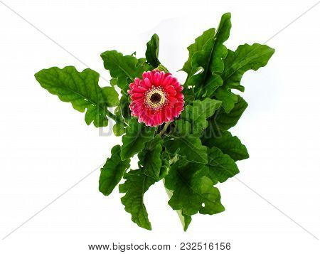 Red Gerbera Daisy Flower Isolated On White Background