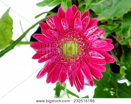 Pink Gerbera Daisy Flower Close Up On White Background