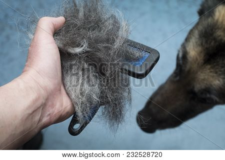 Male Hand With Pet Comb Full Of Dog Hair, A Dog Head In The Blurred Background