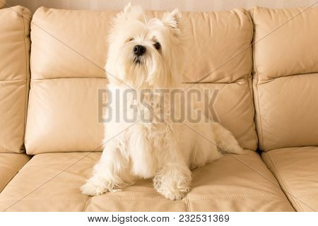West Highland White Terrier Sits On A Leather Sofa .