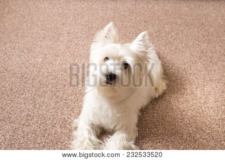 West Highland White Terrier Lies At Home On The Carpet .