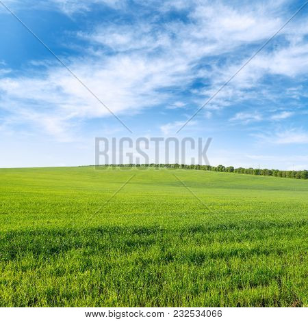 Green spring wheat field and blue sky with clouds. Copy space