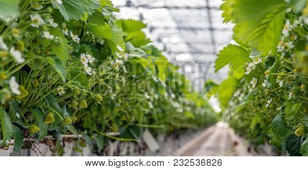 Strawberry Plants Growing On Substrate In A Large Dutch Greenhouse. The Cultivation Gutters Are At A
