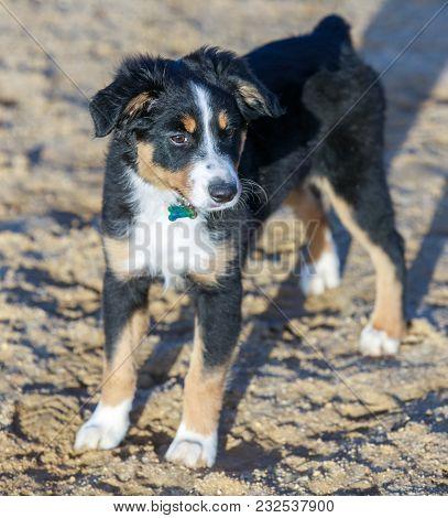 Miniature Australian Shepherd (american Shepherd) Puppy Female