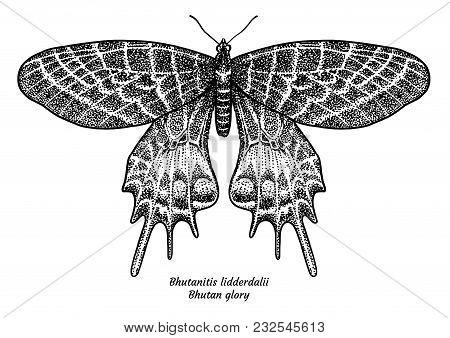 Bhutanitis Lidderdalii, Bhutan Glory Illustration, Drawing, Engraving, Ink, Line Art