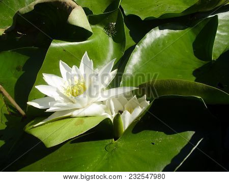 Water Lily On A River. White Flower On A Lake