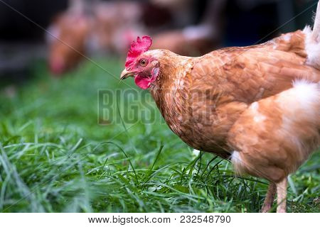 Chicken Standing In The Grass On A Rural Garden In The Countryside. Close Up Of A Chicken Standing O