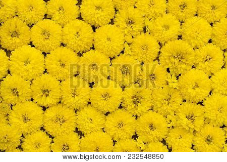 Floral Background Of Yellow Flowers Chrysanthemum Close-up