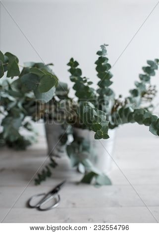 Eucalyptus Plant In Buckets On A Wooden Table