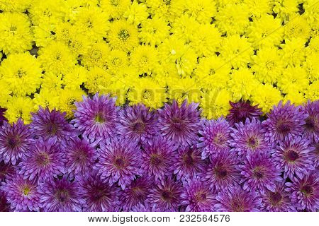 Two-color Floral Background Of Yellow And Blue Chrysanthemum Flowers Close-up
