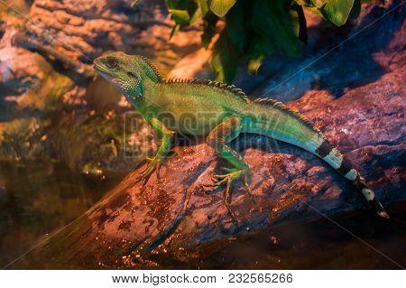 Lizard Sitting On Brown Stone Enjoying Morning Sun. Wildlife In Australia's Rainforest, Serious Look