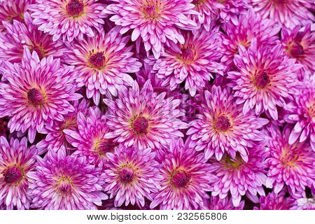 Floral Background Of Pink Flowers Chrysanthemum Close-up