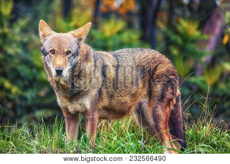 Red Wolf Standing And Staring In Grass
