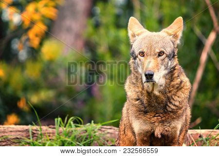 Red Wolf Sitting And Gazing In The Forest