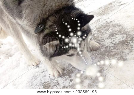 Husky Dog Spirit Of The Light On The Snow Inhales The Pure Energy Of Prana, The Patterns Of Light Sp