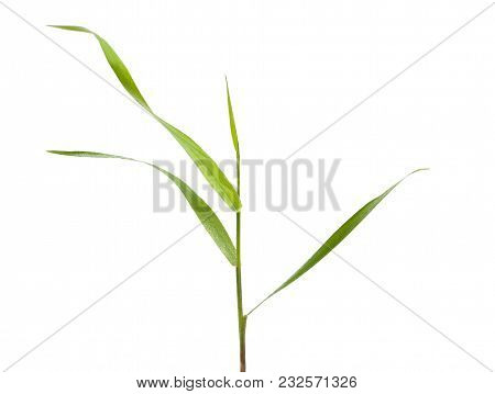 Blade Of Grass Isolated On White. Green Blade Of Grass - Isolated