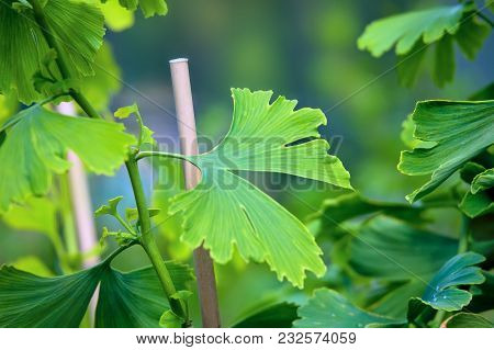 Leaves Of Ginkgo Biloba Tree In Nature