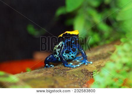 Brazilian Poison Dart Frog. Black, Yellow And Blue.