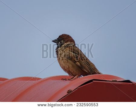 Eurasian Tree Sparrow,sitting On The Roof, Against White Background.the Most Common Birds Seen In Ma