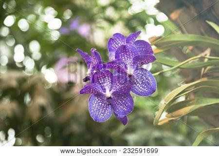 One Beautiful Orchid Vanda On Background Garden.blur Background