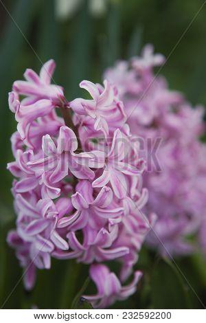 One Pink Fresh Hyacinths In The Spring Garden