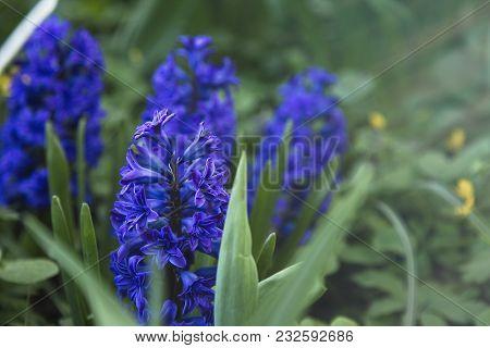 Blue Fresh Hyacinths In The Spring Garden.sunny Day Light.
