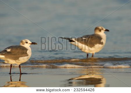 Two Seagulls Standing In The Surf On The Beach From Padre Island, Texas.