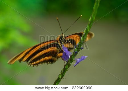 A Banded Orange Heliconian Butterfly On The Flower Of A Blue Porterweed, Also Known As Blue Snakewee