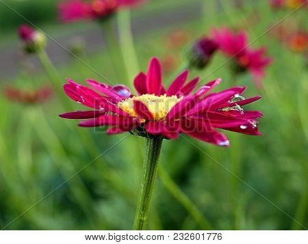 Pyrethrum In Raindrops.pyretrum Pink Appearance Of Their Flower Baskets Is Very Similar To Decorativ