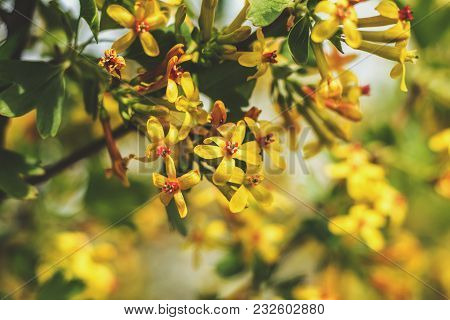 Spring Background Art With Yellow Blossom. Beautiful Nature Scene With Blooming Tree And Sun Flare.