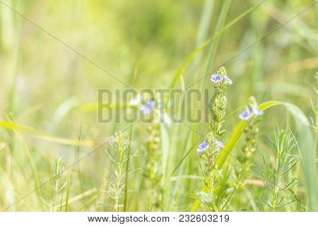 Green Juicy Grass And Gentle Violet Flowers In The Field On A Sunny Day. Shallow Depth Of Field