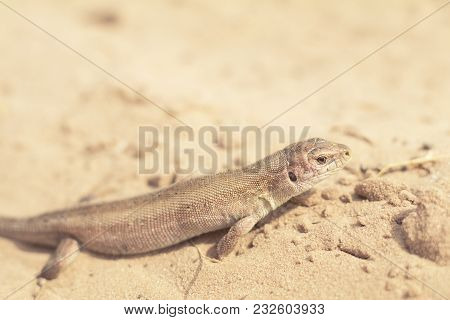 Yellow Lizard In Nature On The Sand In The Sunny Day. Shallow Depth Of Field. Lacerta Agilis.