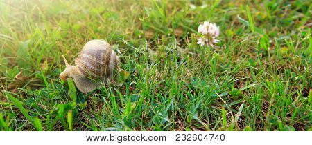Big Snail On The Summer Garden With Flowers.