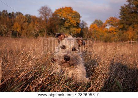 A Cute Mongrel In Autumn Portrait . A Cute Little Dog On An Autumn Background.