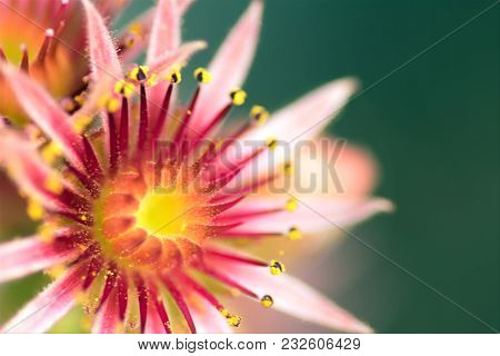 Close Up Of A Pink Flower Of A Blooming Common Houseleek. Succulent. Plant Of The Alps.english Name: