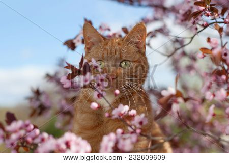 Red Cat In Flowers. Delightful Red Tomcat In Flowers Of The Blooming Sour Cherry Tree.