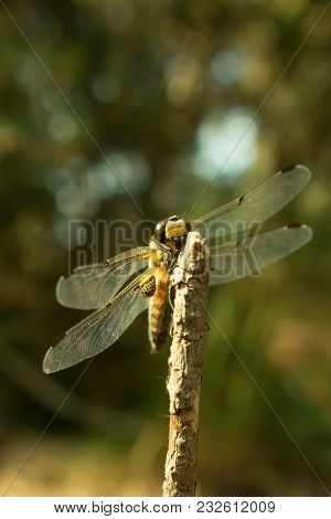 Close Up Of A Four-spotted Chaser Dragonfly Resting On A Twig. English Name: Four-spotted Chaser. La
