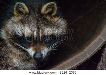 A Raccoon Sitting In A Barrel. (procyon Lotor). Also Known As Racoon, Common Raccoon, North American