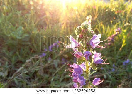 Purple Flower Forest On A Background Of Green One At Sunset